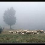 15.Ovce u magli