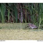 Тужна жаба