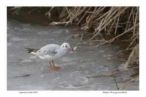Skillful Gull