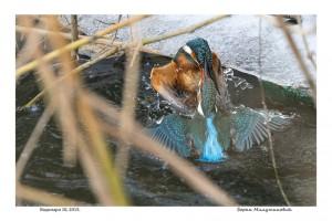 Kingfishers 10